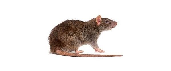 Rodenticides professionnels et solutions de lutte contre les souris et rats achatmat - Solution radicale contre les souris ...